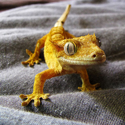 Eyelash Mocha Crested Gecko