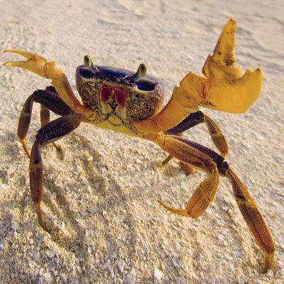 Halloween Crab (Gecarcinus quadratus)