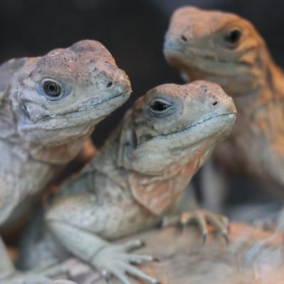 Iguana (Babies)