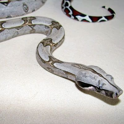 Albino Columbian Boa Snake