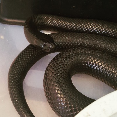 Mexican Black Milk Snake